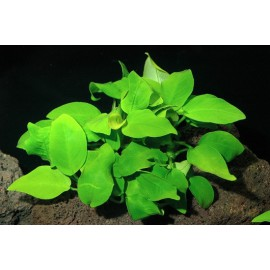 Anubias Nana Yellow Heart