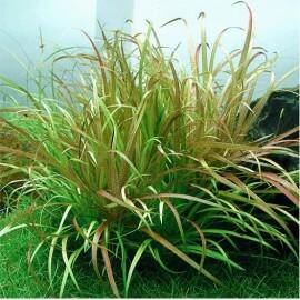 plantes d 39 aquarium gazonnantes facile et pas cher herbe. Black Bedroom Furniture Sets. Home Design Ideas