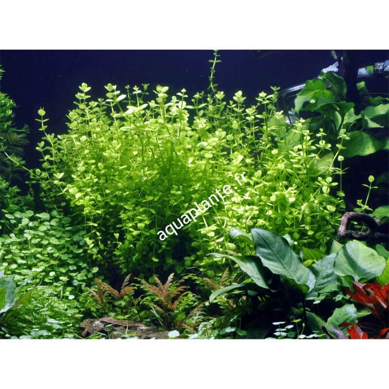 plante arri re plan d 39 aquarium lindernia rotundifolia. Black Bedroom Furniture Sets. Home Design Ideas