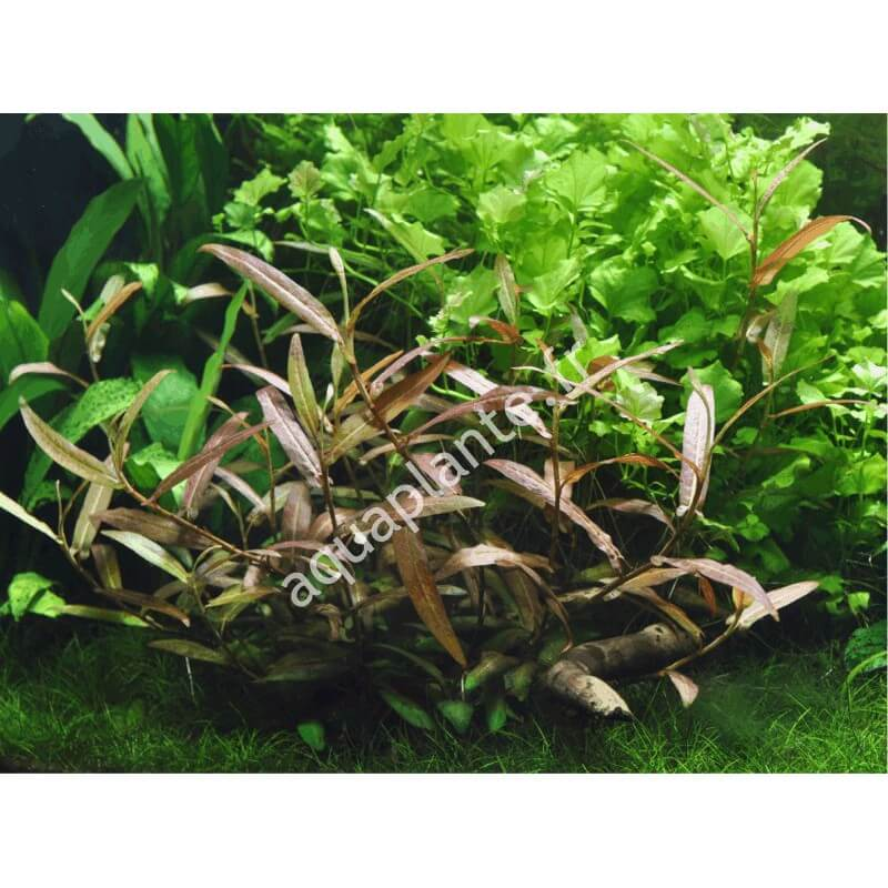 Plante polygonum sp pour aquarium eau douce for Plante aquarium eau douce