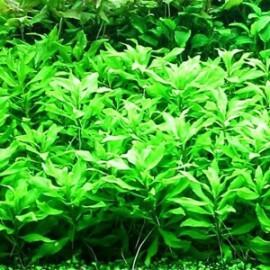 Penthorum Sedoides Tropica