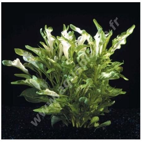 Alternanthera Azurea