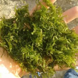 South America Moss