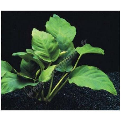 Anubias Nana Round Leaf