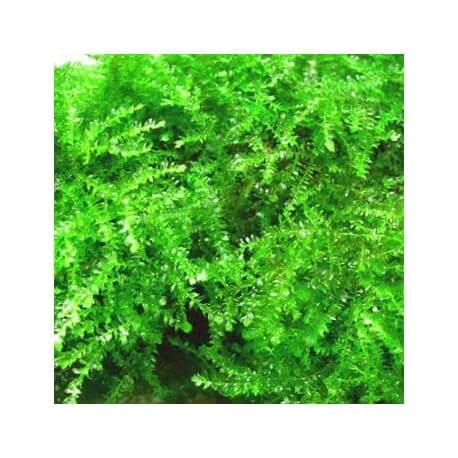 Vesicularia Ferriei Weeping Moss Tropica
