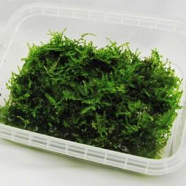 Christmas Moss pour Wabi-Kusa