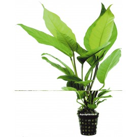 Anubias Heterophylla Wabi-Kusa