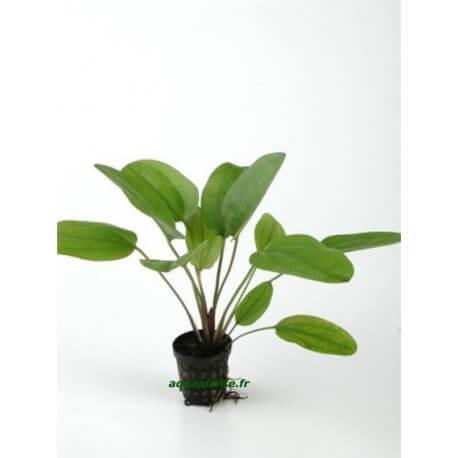 Echinodorus Midi Fleur