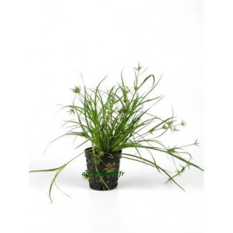 plante arri re plan d 39 aquarium juncus repens pour. Black Bedroom Furniture Sets. Home Design Ideas
