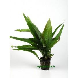 Microsorum Pteropus Latifolia