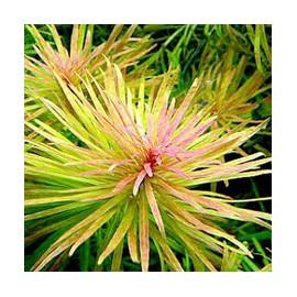 Ludwigia Inclinata var. Verticillata Cuba