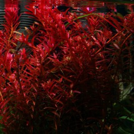 Rotala sp brick red