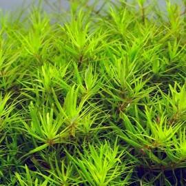 Limnophila sp Mini Vietnam