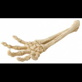 Main Squelette