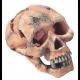 Crâne L