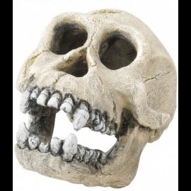 Crâne de Chrimpanzée