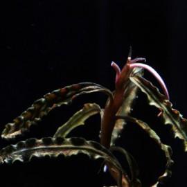 Bucephalandra Biblis Blue Skay