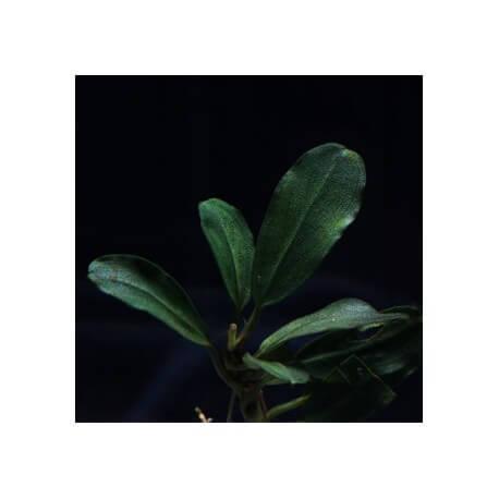Bucephalandra Pontianac 2