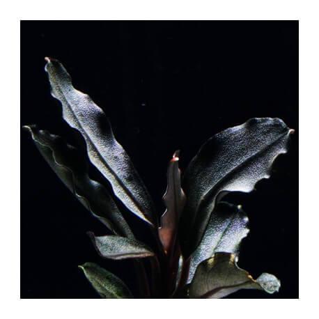 Bucephalandra Brownie Helena Blue