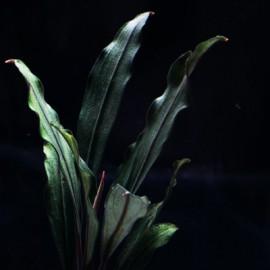 Bucephalandra Sanggau Palm Tree