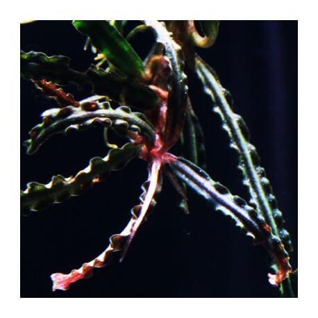 Bucephalandra Caterine var maple