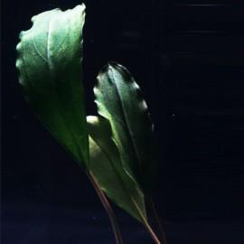 Bucephalandra Entikong