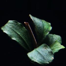 Bucephalandra Brilliant Jade