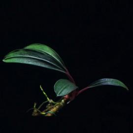 Bucephalandra Montleyana Red Bamboo