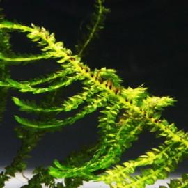 Vesicularia Singapore Moss