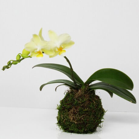 kokedama orchid e yellow s fabrication fran aise. Black Bedroom Furniture Sets. Home Design Ideas