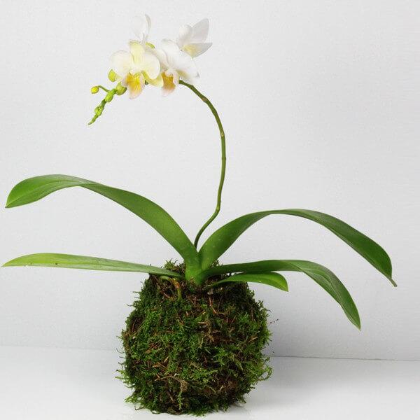 orchidee kokedama