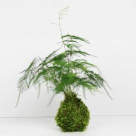 Kokedama asparagus plumosus taille M