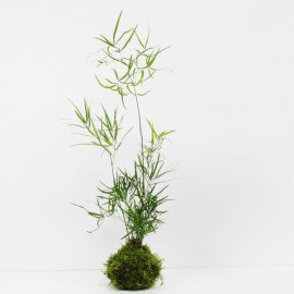 Kokedama asparagus falcatus taille M