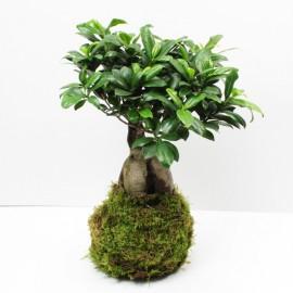 Kokedama Paysage Ficus