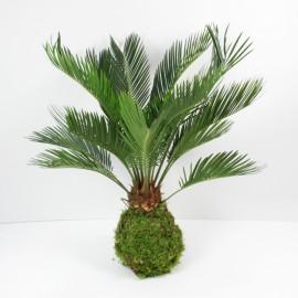 Kokedama Palmier XL