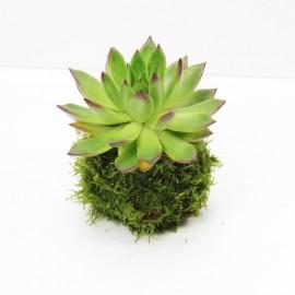 Kokedama Plante Grasse 2S