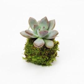 Kokedama Plante Grasse 3S