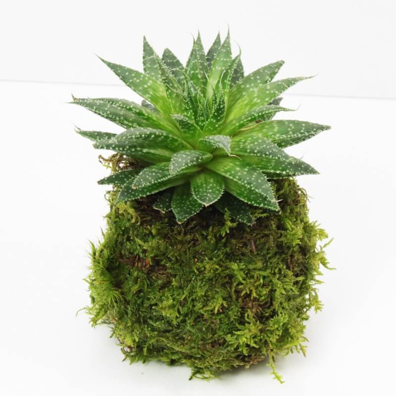 kokedama plante grasse 4s aquaplante