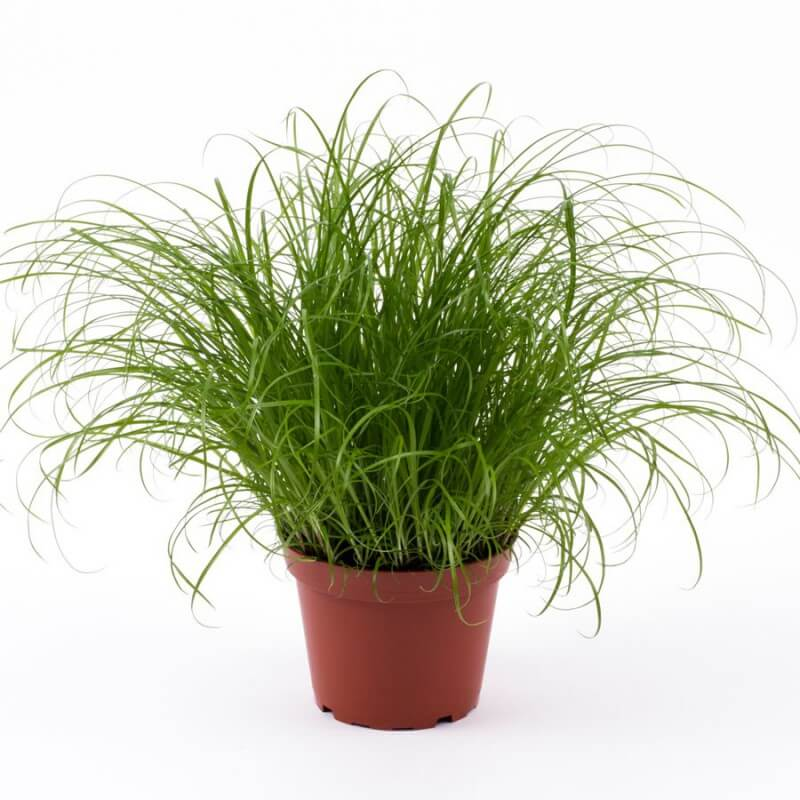 cyperus zumula katengrass plante pour terrarium. Black Bedroom Furniture Sets. Home Design Ideas