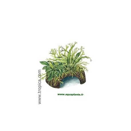 CocoCave avec Microsorum et Anubias Tropica