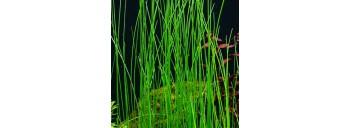 Lilaeopsis Macloviana