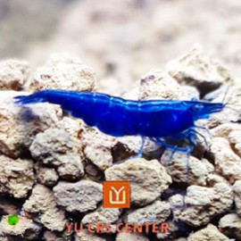 Crevette Blue Wizard