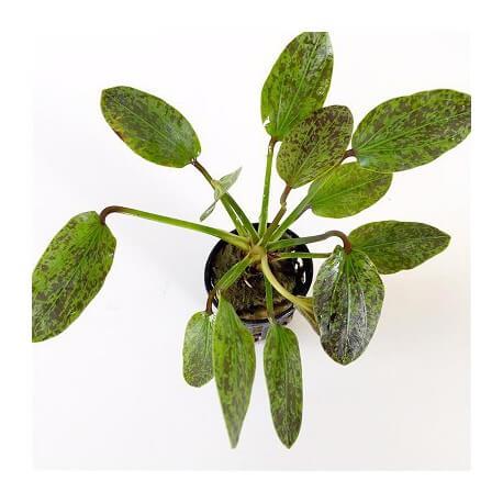 Echinodorus Green Flamed