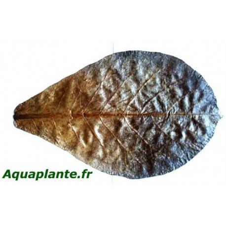 Lot de 5 feuilles de Terminalis Catappa 11-17cm