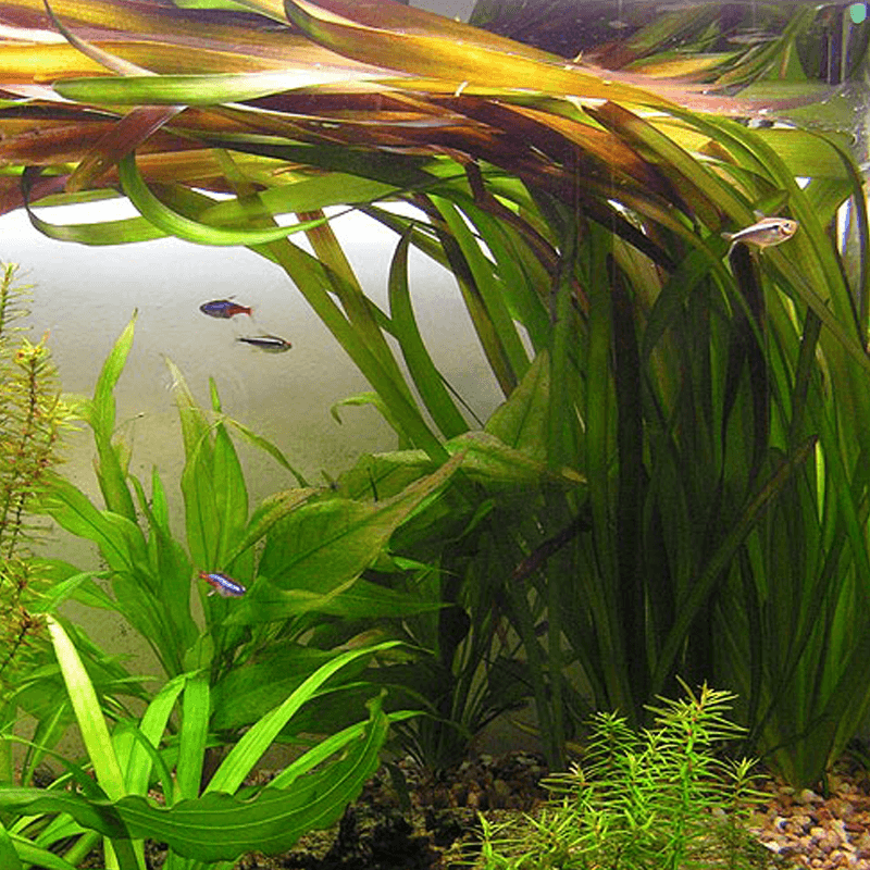 plante arri re plan d 39 aquarium vallisneria gigantea. Black Bedroom Furniture Sets. Home Design Ideas