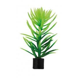 Plante mini didiplis