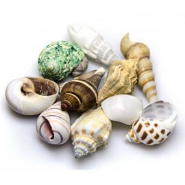 Hobby Sea Shells Set M 10Pcs