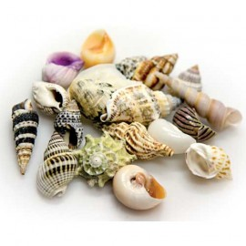 Hobby Sea Shells Set L 5Pcs