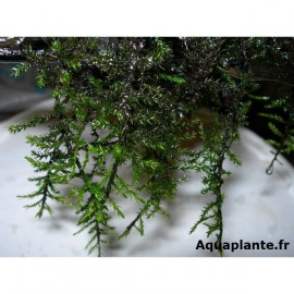 Woody Moss - Climacium sp.