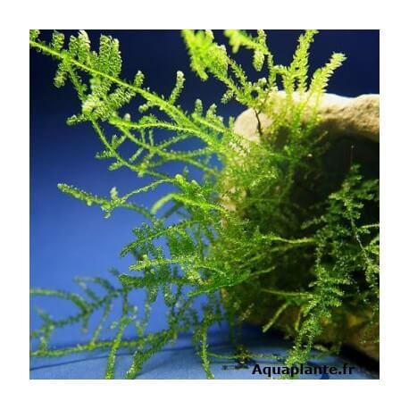 Brazil Moss - Vesicularia sp.